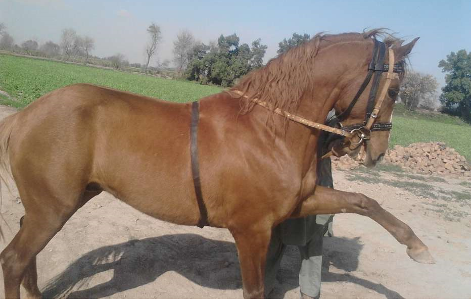 Rawalpindi Horses For Sale OLX Rawalpindi Free Classifieds