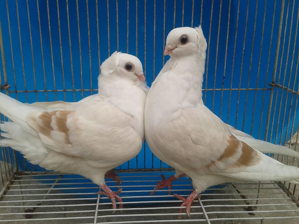 Gara Isa Khan Pigeons For Sale OLX Dera Ismail Khan Free