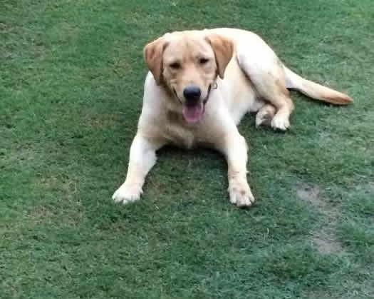 Dhanyala Dogs For Sale OLX Jhelum Free Classifieds OLX Ads