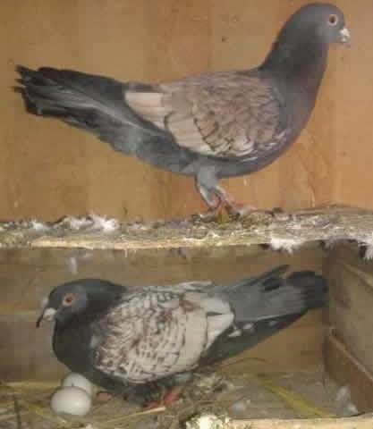 Gara Isa Khan Pigeons For Sale OLX Dera Ismail Khan Free Classifieds