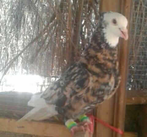 Malka Hans Pigeons For Sale Olx Pakpattan Free Classifieds