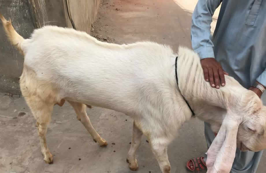 Bannu Goat For Sale OLX Pakistan Free Classifieds OLX Ads