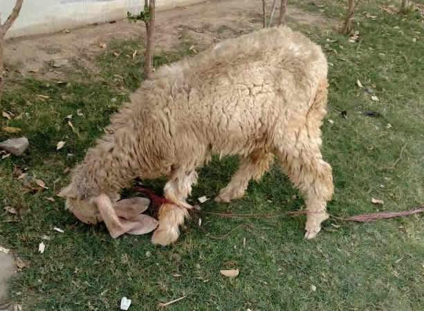 Olx Goat Lahore