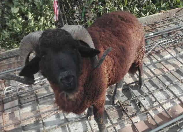 Olx Goat Punjab