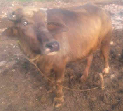 Rawalpindi Cows For Sale OLX Rawalpindi Free Classifieds OLX Ads
